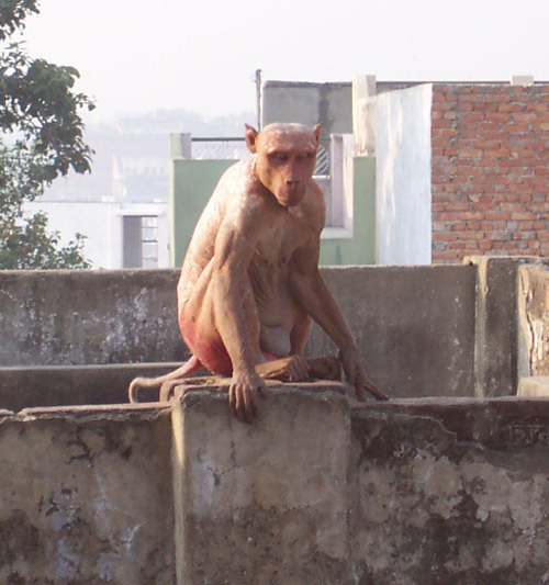 Hairless Monkey