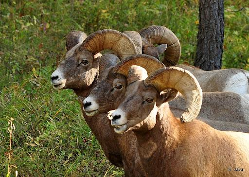 I have this many rams